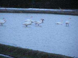 白鳥が来た(^O^)コシヒカリの田に。
