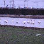 農薬を使わないこしひかりの圃場に飛来した白鳥