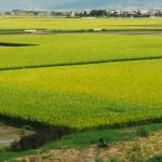 自然の力だけで育ったお米は余計な味はせず、素朴ですが今までで一番おいしい