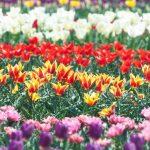 チューリップの庭♡