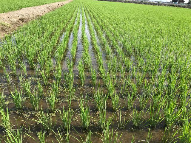 生長のスイッチが入り始めた頃の「譲る米」