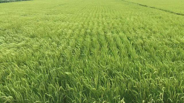風に揺れる「譲る米」